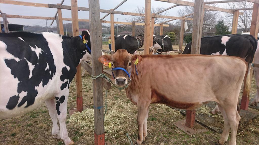 一番乳牛が住むまち(縮小)